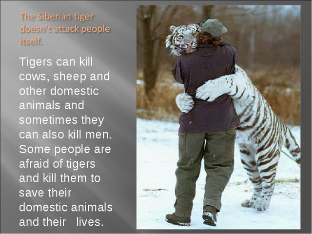 Tigers can kill cows, sheep and other domestic animals and sometimes they can...