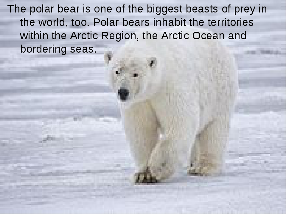 The polar bear is one of the biggest beasts of prey in the world, too. Polar...