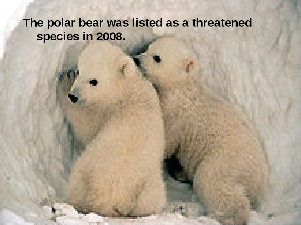 The polar bear was listed as a threatened species in 2008.
