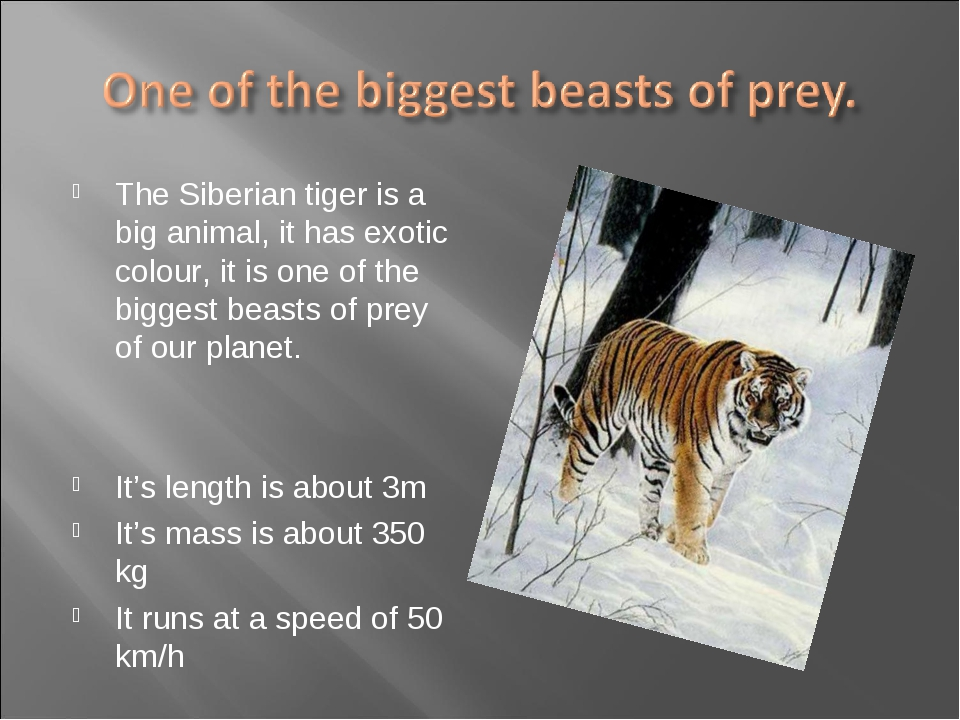The Siberian tiger is a big animal, it has exotic colour, it is one of the bi...
