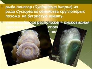 рыба пинагор (Cyclopterus lumpus) из родаCyclopterusсемейства круглоперых п
