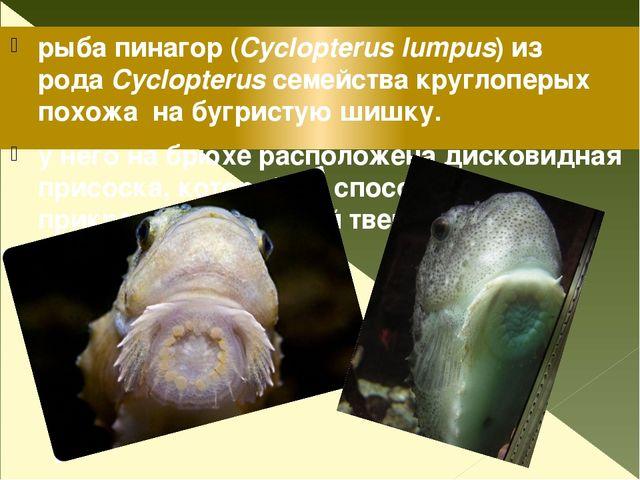 рыба пинагор (Cyclopterus lumpus) из родаCyclopterusсемейства круглоперых п...