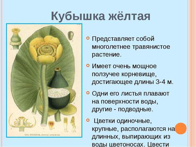 Кубышка жёлтая Представляет собой многолетнее травянистое растение. Имеет оче...