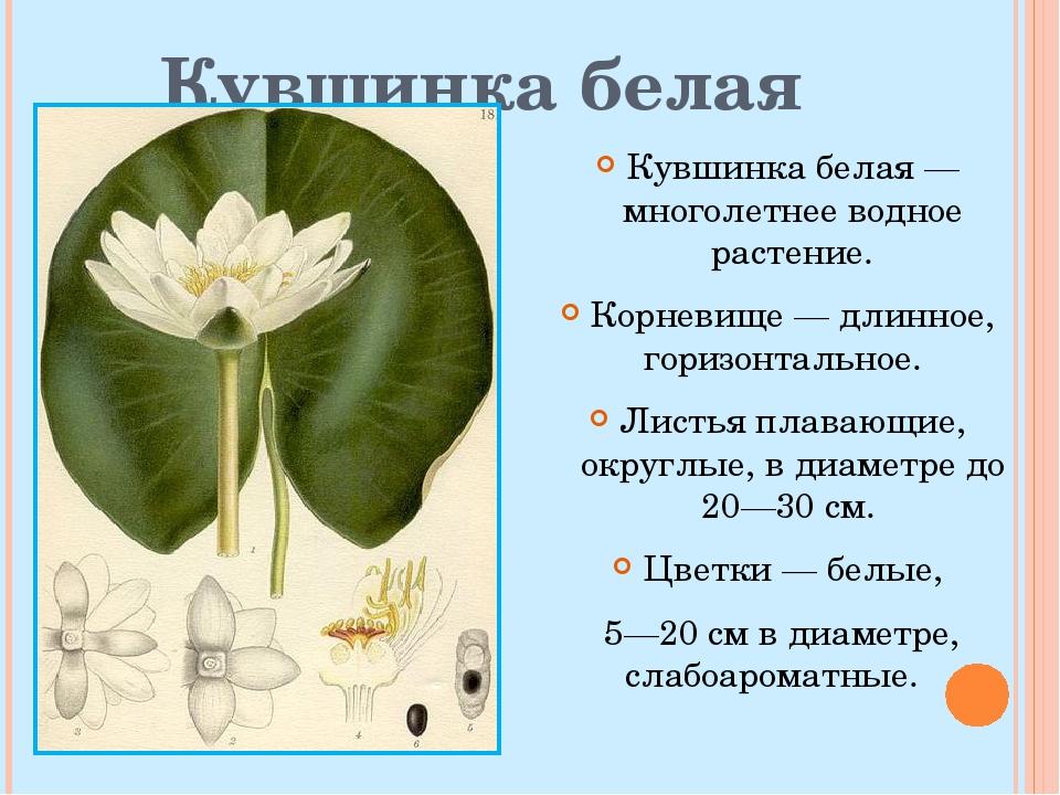 Кувшинка белая Кувшинка белая— многолетнее водное растение. Корневище— дли...