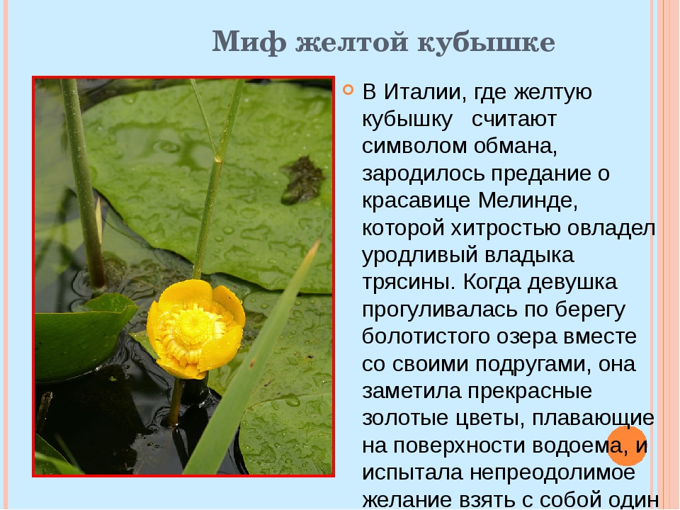 Миф желтой кубышке В Италии, где желтую кубышку считают символом обмана, заро...