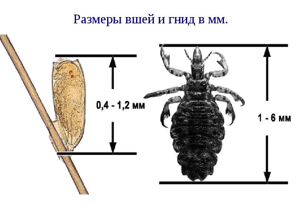 Размеры вшей и гнид в мм.
