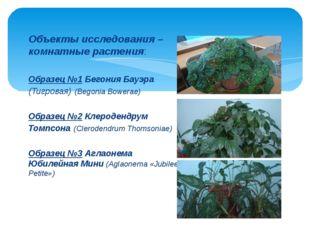 Объекты исследования – комнатные растения: Образец №1 Бегония Бауэра (Тигрова
