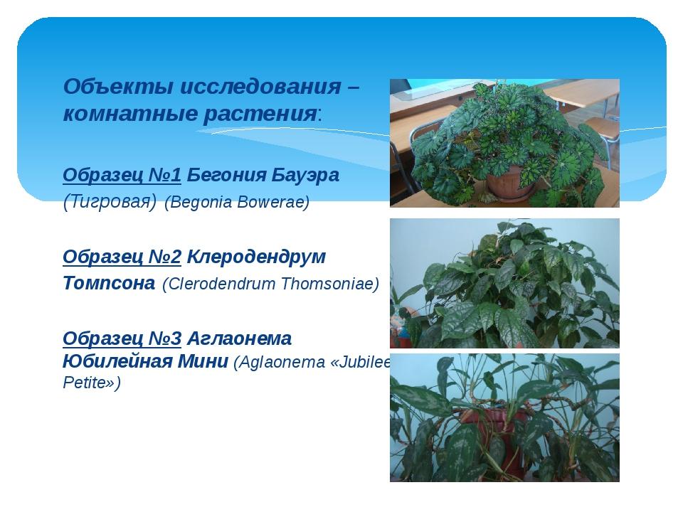 Объекты исследования – комнатные растения: Образец №1 Бегония Бауэра (Тигрова...