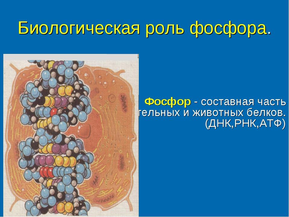 Биологическая роль фосфора. Фосфор - составная часть растительных и животных...