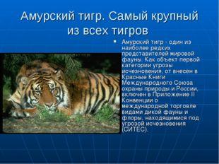 Амурский тигр. Самый крупный из всех тигров Амурский тигр - один из наиболее