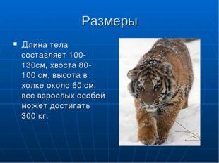 Размеры Длина тела составляет 100-130см, хвоста 80-100 см, высота в холке око