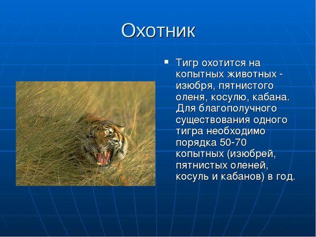 Охотник Тигр охотится на копытных животных - изюбря, пятнистого оленя, косулю...