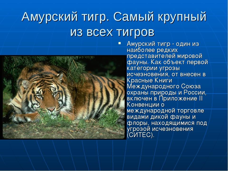 Амурский тигр. Самый крупный из всех тигров Амурский тигр - один из наиболее...