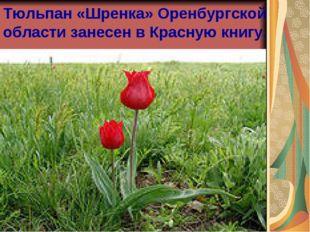 Тюльпан «Шренка» Оренбургской области занесен в Красную книгу.