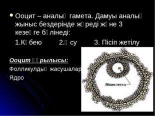 Ооцит – аналық гамета. Дамуы аналық жыныс бездерінде жүреді және 3 кезеңге бө