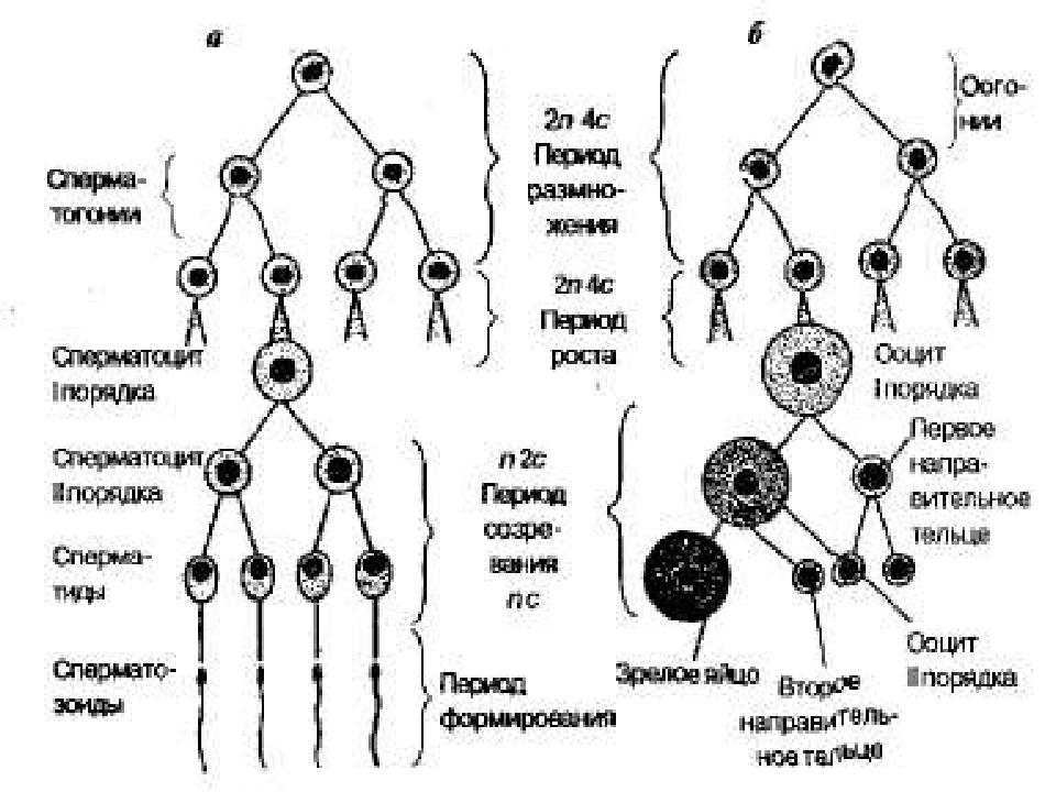 perechen-otlichiy-spermatogeneza-ot-ovogeneza