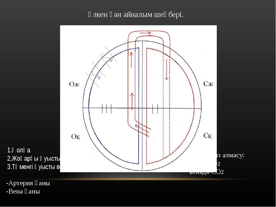 Үлкен қан айналым шеңбері. 1 2 3 1.Қолқа 2.Жоғарғы қуысты вена 3.Төменгі қуыс...