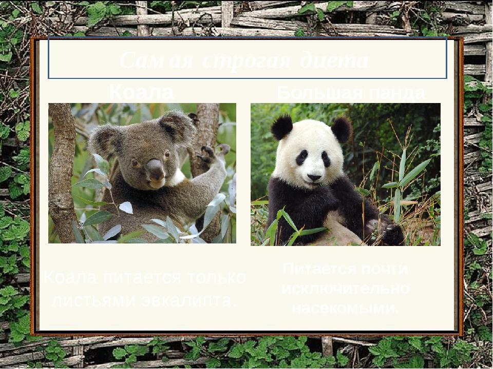 Коала Коала питается только листьями эвкалипта. Большая панда Питается почти...