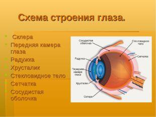 Схема строения глаза. Склера Передняя камера глаза Радужка Хрусталик Стеклови