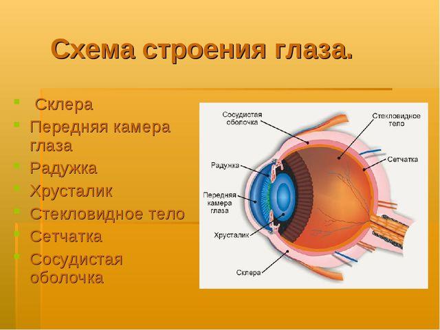Схема строения глаза. Склера Передняя камера глаза Радужка Хрусталик Стеклови...