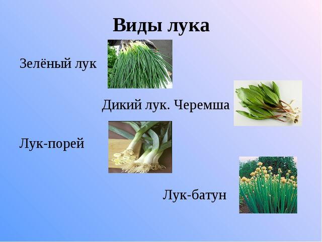 Виды лука Зелёный лук Дикий лук. Черемша Лук-порей Лук-батун