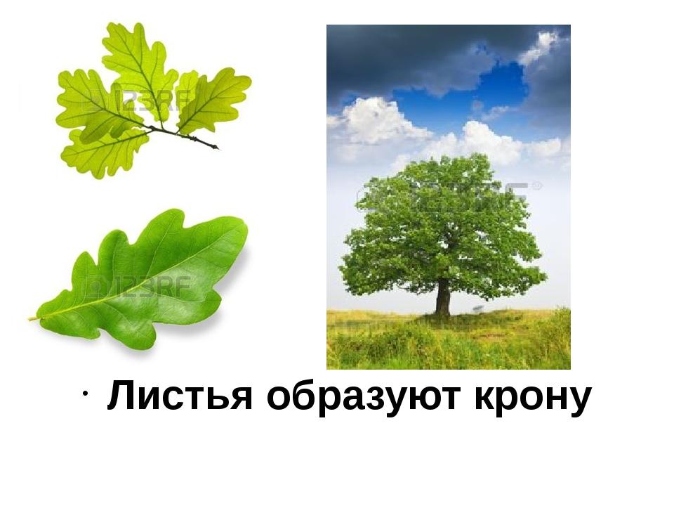 Листья образуют крону