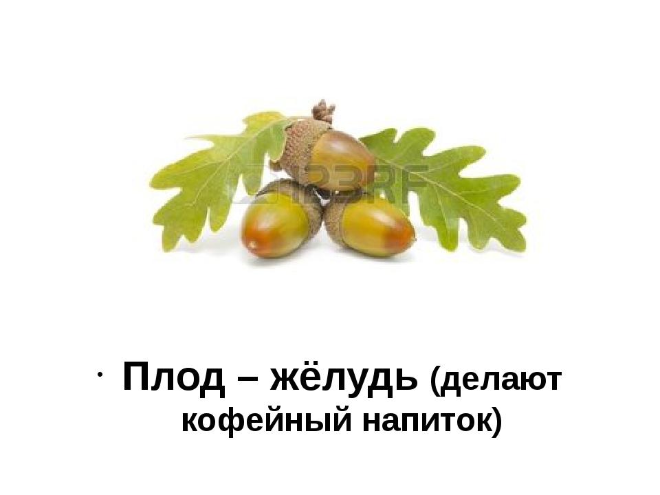 Плод – жёлудь (делают кофейный напиток)