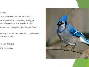 ОБРАЗ ЖИЗНИ Привычки: осторожная, пугливая птица. Пища: черви, насекомые, гры