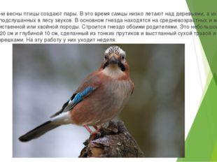 В первые дни весны птицы создают пары. В это время самцы низко летают над дер