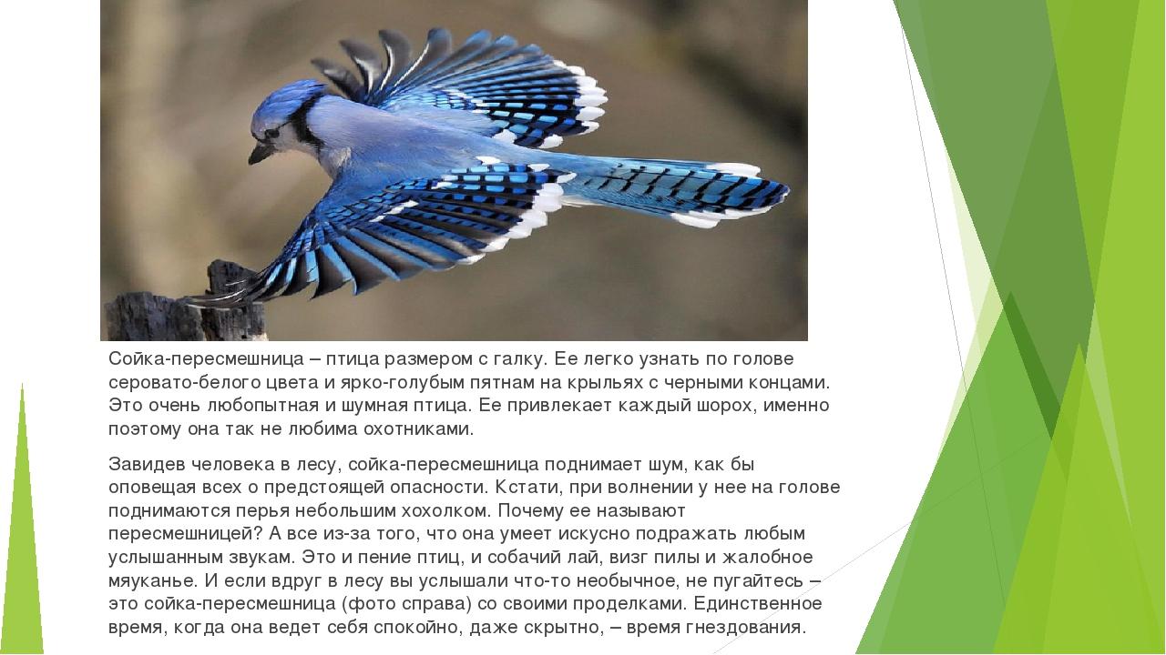 Сойка-пересмешница – птица размером с галку. Ее легко узнать по голове серова...