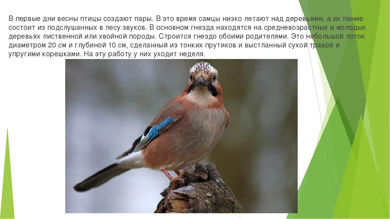 В первые дни весны птицы создают пары. В это время самцы низко летают над дер...
