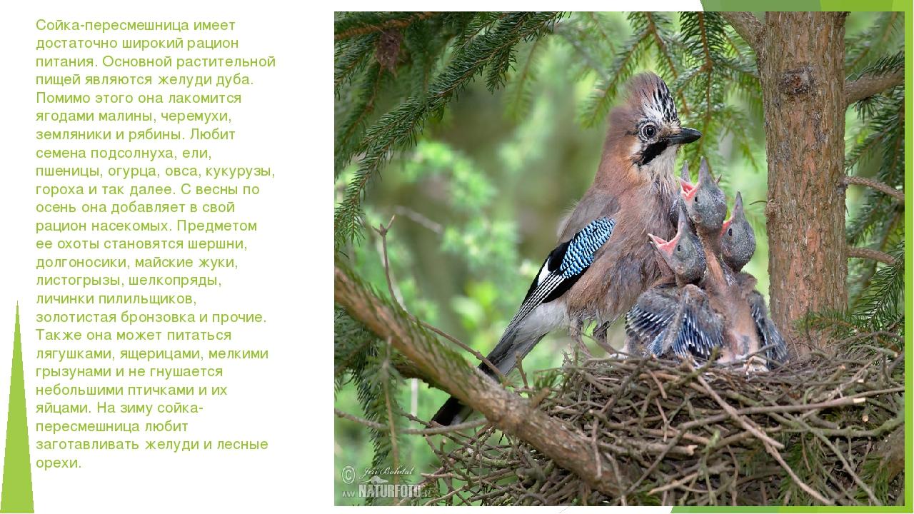 Сойка-пересмешница имеет достаточно широкий рацион питания. Основной растител...