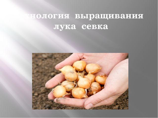 Технология выращивания лука севка