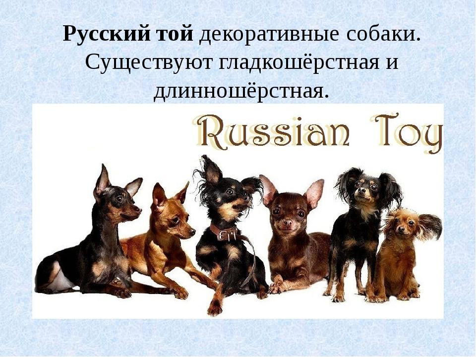 Русский тойдекоративные собаки. Существуют гладкошёрстная и длинношёрстная.