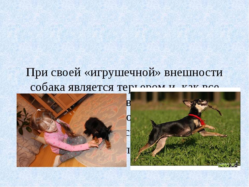 При своей «игрушечной» внешности собака является терьером и, как все терьер...