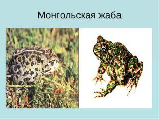 Монгольская жаба
