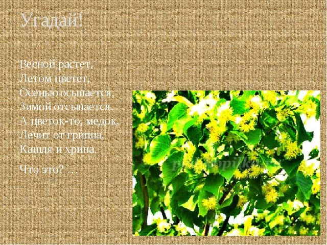 Презентация Зеленая аптека лекарственные травы  Угадай Весной растет Летом цветет Осенью осыпается Зимой отсыпается А цв