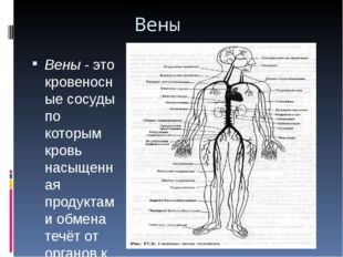 Вены Вены- это кровеносные сосуды по которым кровь насыщенная продуктами обм