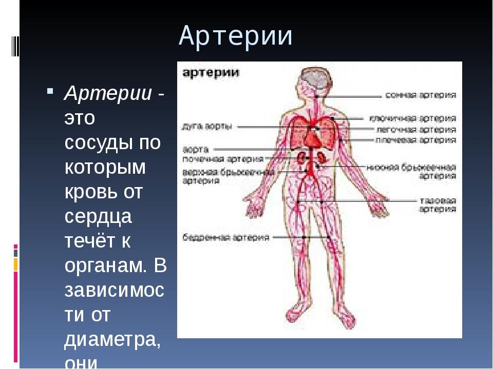 Артерии Артерии- это сосуды по которым кровь от сердца течёт к органам. В за...