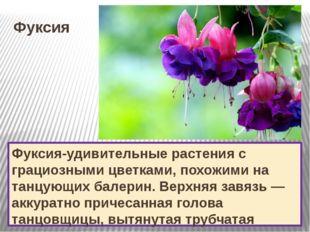 Фуксия Фуксия-удивительные растения с грациозными цветками, похожими на танцу