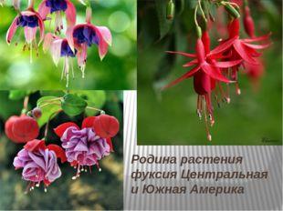 Родина растения фуксия Центральная и Южная Америка
