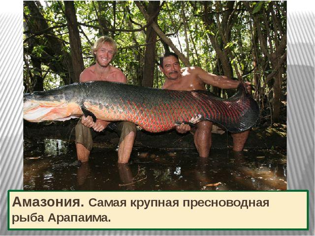 Амазония. Самая крупная пресноводная рыба Арапаима.