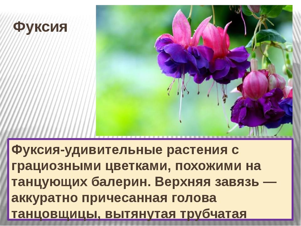 Фуксия Фуксия-удивительные растения с грациозными цветками, похожими на танцу...