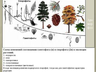 Схема изменений соотношения гаметофита (n) и спорофита (2n) в эволюции растен