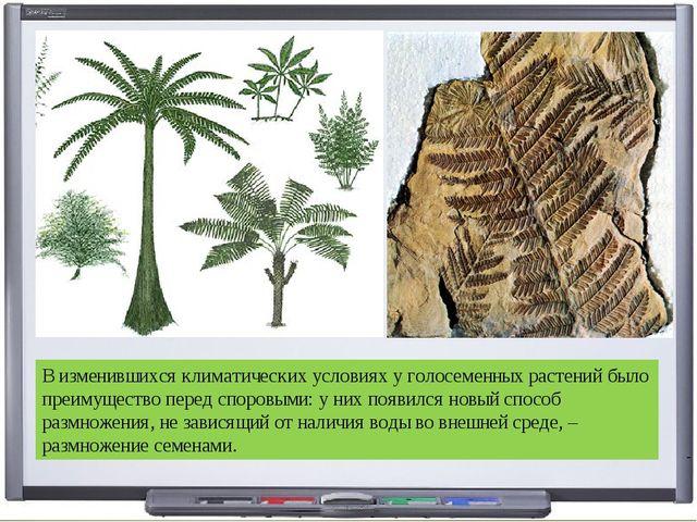 В изменившихся климатических условиях у голосеменных растений было преимущест...