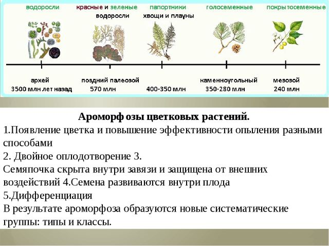 Ароморфозы цветковых растений. 1.Появление цветка и повышение эффективности о...