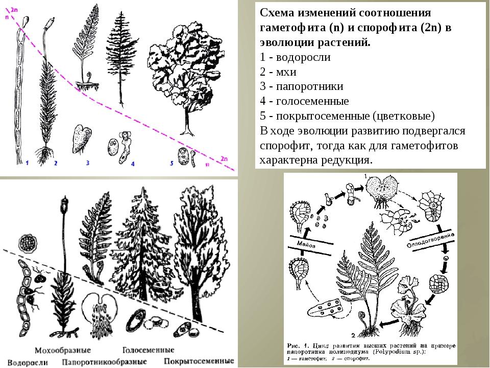 Схема изменений соотношения гаметофита (n) и спорофита (2n) в эволюции растен...