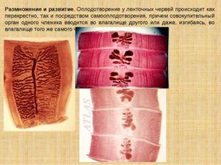 Размножение и развитие. Оплодотворение у ленточных червей происходит как пере