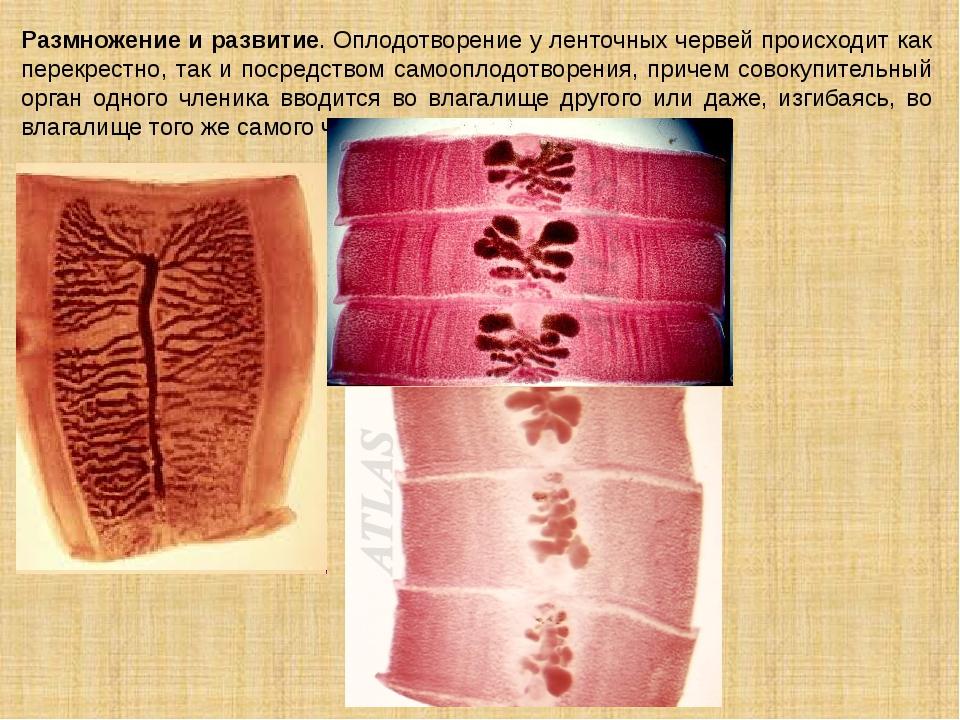 Размножение и развитие. Оплодотворение у ленточных червей происходит как пере...