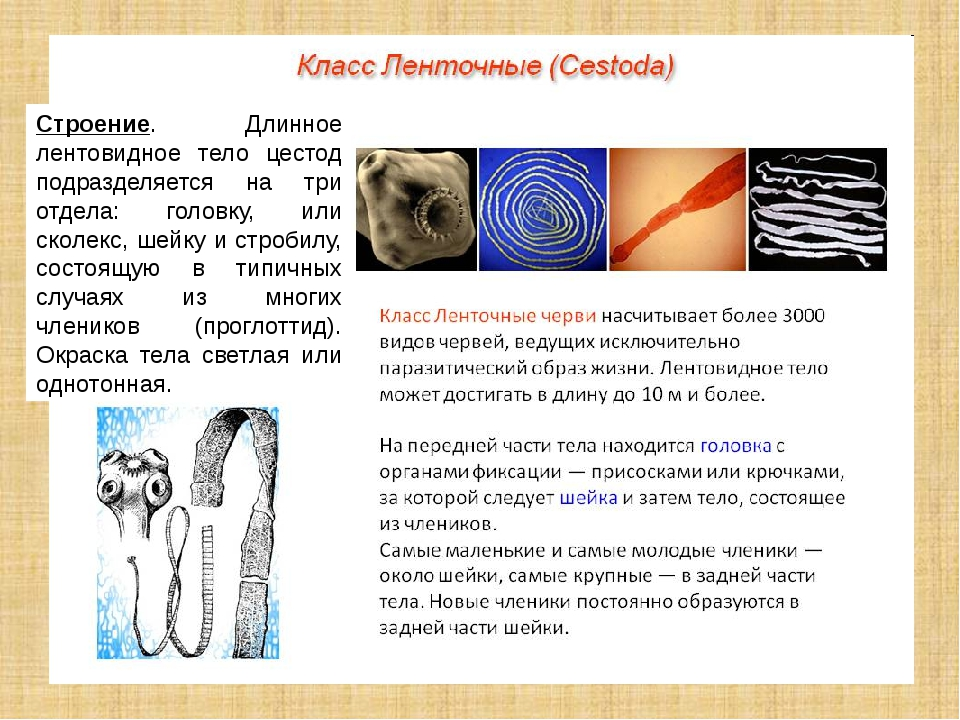 Строение. Длинное лентовидное тело цестод подразделяется на три отдела: голов...